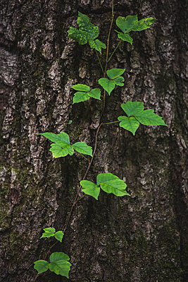Poison ivy vine growing on tree trunk - p924m957974f by Chad Springer