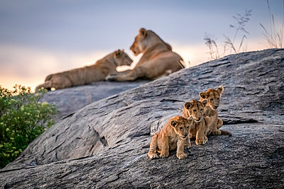 Three lion cubs (Panthera leo) sitting on a rock looking out with two lionesses in the background at dusk, Serengeti; Tanzania - p442m2113739 by Nick Dale
