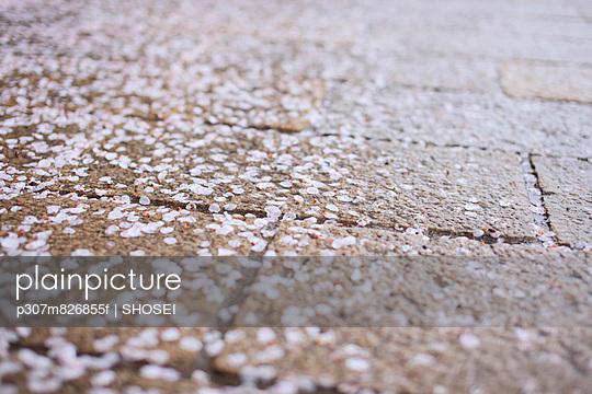 Cherry blossoms on stone pavement - p307m826855f by SHOSEI