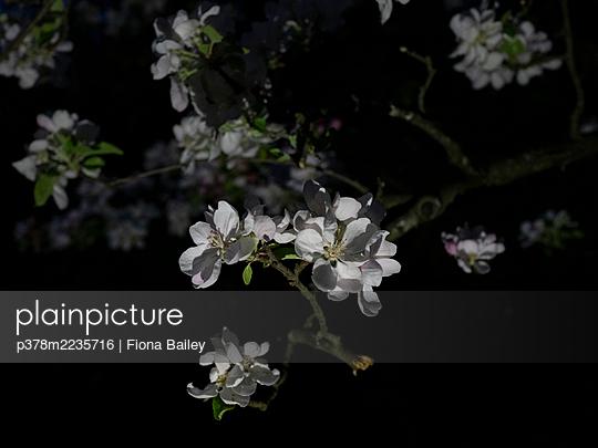 Close-up of blossom - p378m2235716 by Fiona Bailey