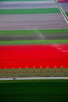Tulip blooming season - p1120m899965 by Siebe Swart