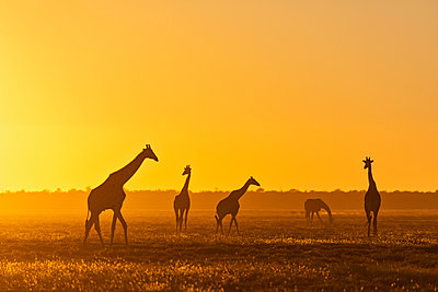 Africa, Namibia, Etosha National Park, Giraffes at sunset, Giraffa camelopardalis - p300m2131878 by Fotofeeling