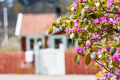 Flowering bush - p312m1471406 by Mikael Svensson