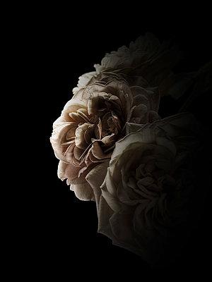 Rose petals - p416m990954 by Volker Wenzlawski