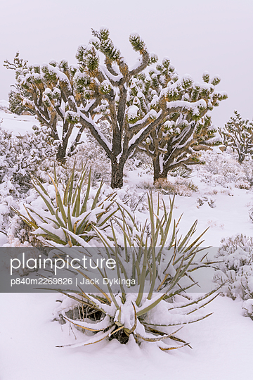 Joshua trees (Yucca brevifolia) and Mojave yuccas (Yucca schidigera) are drapped by a heavy blanket of snow.  California. Mojave Natural Preserve, Mojave Desert, Cima Dome Joshua tree forest in late season blizzard. - p840m2269826 by Jack Dykinga