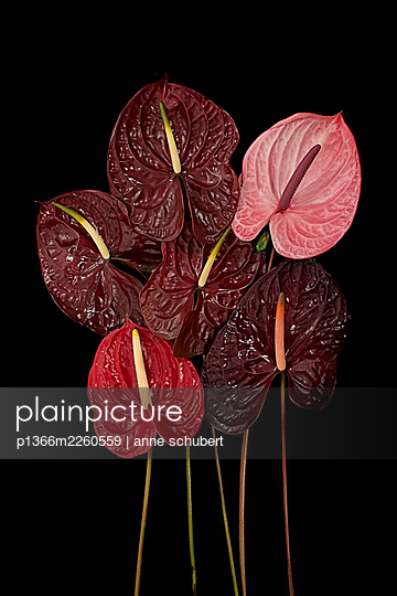 Flamingo flowers against black background - p1366m2260559 by anne schubert