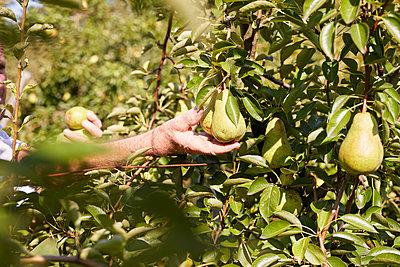 Organic farmer harvesting williams pears - p300m2140984 by Sebastian Dorn