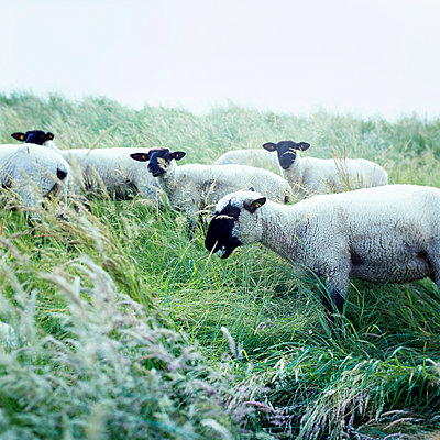 Sheeps with black faces - p989m919197 by Gine Seitz