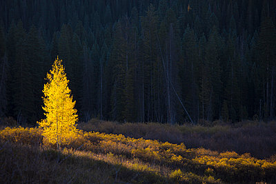Glowing yellow autumn tree, Kebler Pass Colorado, United States - p1023m1121433f by David Henderson
