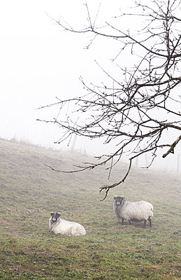 Two sheep in the fog - p1229m2231776 by noa-mar