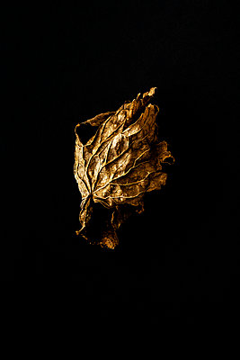 Dried and shrivelled leaf against a black background - p1302m2204337 by Richard Nixon