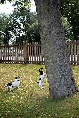 Zwei Jack Russells im Garten - p1560m2128812 von Alison Morton