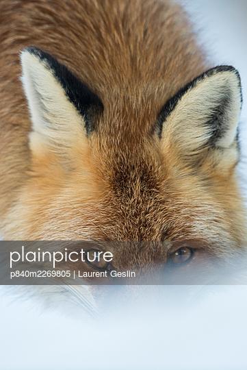 Red fox (Vulpes vulpes) in winter snow, head portrait,  Jura, Switzerland - p840m2269805 by Laurent Geslin