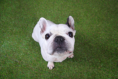 Portrait of French bulldog sitting on grass looking up - p300m1189494 by Retales Botijero