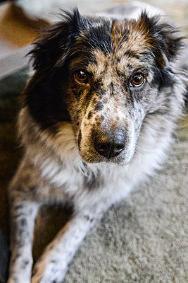 Close-up, full-frame of Australian Shepherd Dog looking into camera - p1166m2157045 by Cavan Images