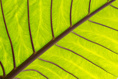Close up of a Taro leaf; Maui, Hawaii, United States of America - p442m904790f by Ron Dahlquist photography