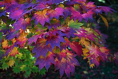 Autumn colours, Westonbirt National Arboretum, Gloucestershire, England, United Kingdom - p871m2068500 by Ethel Davies