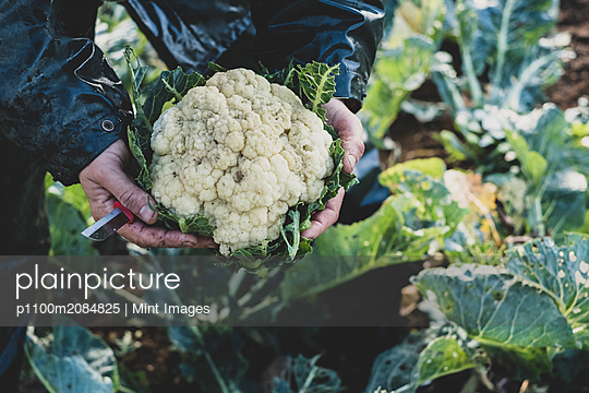 High angle close up of person holding freshly harvested cauliflower. - p1100m2084825 by Mint Images