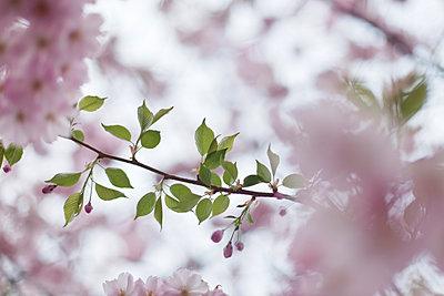Kirschblüte und Blätter - p212m901161 von Edith M. Balk