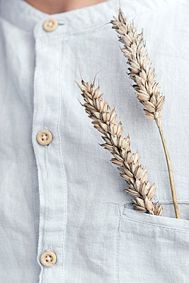 Oat ears in the shirt pocket, close-up - p300m2143868 by Ekaterina Yakunina