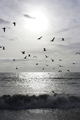 Seagulls in silhouette against a bright setting sun flying over the sea with a wave breaking  - p3313112 by Gail Symes