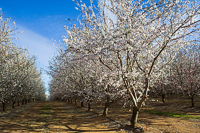 Agriculture, Almond orchard in full bloom in late Winter, Glenn County, California, USA. - p442m936634f by Kathy Coatney