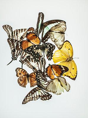 Butterflies - p971m2026253 by Reilika Landen