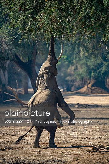 Elephant feeding on hind legs, Mana Pools, Zimbabwe, Africa - p651m2271121 by Paul Joynson Hicks photography