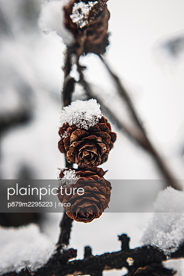 Snow-covered pinecones - p879m2295223 by nico