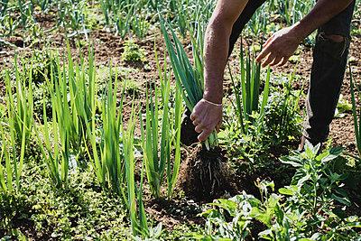 Farmer standing in a field harvesting spring onions. - p1100m2271486 by Mint Images