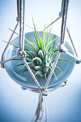 Air plant, Tillandsia - p1149m1516098 by Yvonne Röder