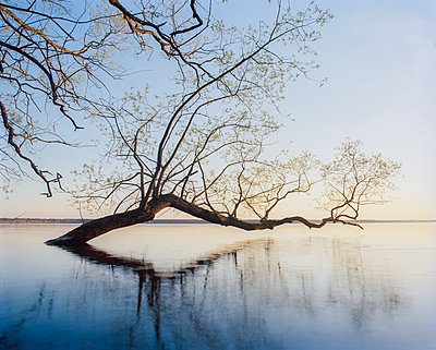Sweden, Skane, Willow tree submerged in lake - p352m1142203 by Gustaf Emanuelsson