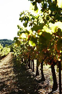 Weinreben Provence - p8870018 von Christian Kuhn