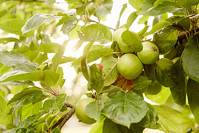 Fruit, green apples on the branches of a tree in an orchard. - p1100m1080208f by Mint Images