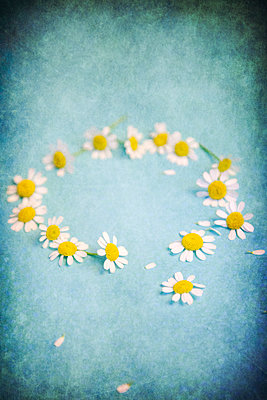 Daisies in a circle with loose petals  - p1248m2209174 by miguel sobreira