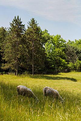 Sheep Grazing in Field - p1331m1195739 by Margie Hurwich