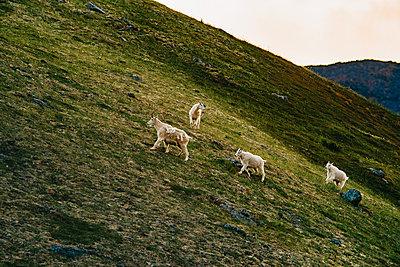 Bergziegen auf der Flucht - p1455m2204836 von Ingmar Wein
