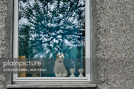 Cat looks out of a window at the camera - p1312m2100884 by Axel Killian