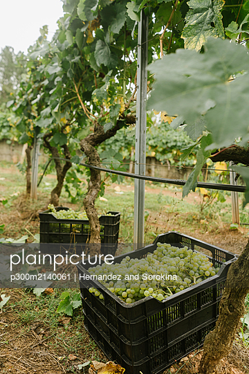 Boxes with harvested green grapes at a vineyard - p300m2140061 by Hernandez and Sorokina