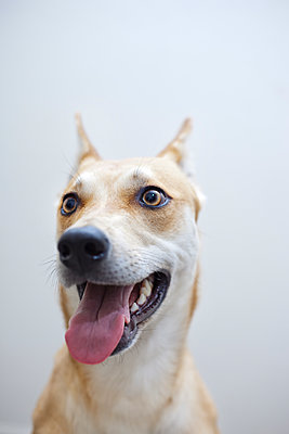 Close-up of dog sticking out tongue while looking away against white background - p1166m1151207 by Cavan Images