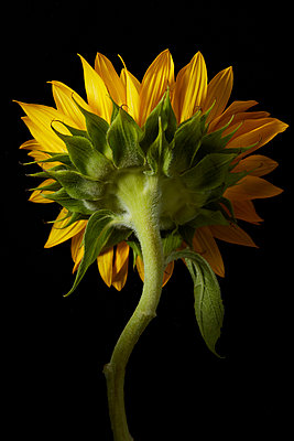 Back of Sunflower - p1166m2136360 by Cavan Images