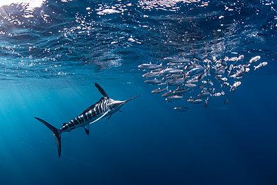 Striped marlin hunting mackerel and sardines - p429m2068331 by Rodrigo Friscione