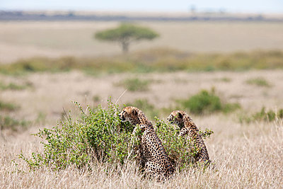 Two attentive cheetahs - p533m1215499 by Böhm Monika