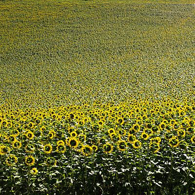 Sunflowers field - p813m831857 by B.Jaubert