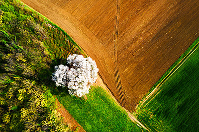 Zenithal aerial view of cherry tree in bloom, Lombardy, Italy, Europe - p871m2209456 by Francesco Bergamaschi