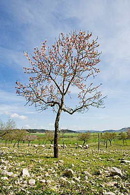 Almond tree on pasture - p312m746781 by Peter Hoelstad
