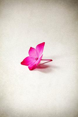 Einzelne Hortensienblüte - p1248m2193185 von miguel sobreira