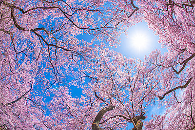 Cherry blossoms in full bloom and blue sky - p307m1495912 by MATSUO.K