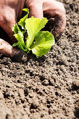 Farmer planting seedling in soil - p429m1135640 by Ingolf Hatz