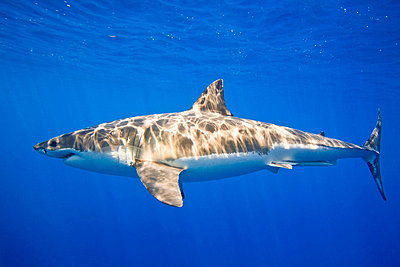 Great white shark (Carcharodon carcharias)   - p4427181f by Design Pics